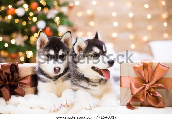 Two Puppy Husky Dog Amazing Gift Stock Photo Edit Now 771548917 Life with malamutes po box 718 salford lancashire m5 0qq england. shutterstock