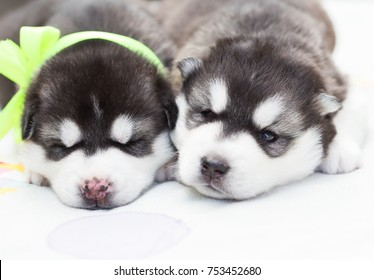 Two puppy Husky newborn in nature background. Beautiful dog. Animal life. Close up. Amazing baby animal.