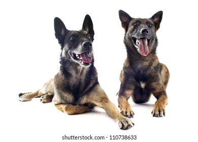 two purebred belgian sheepdog malinois on a white background