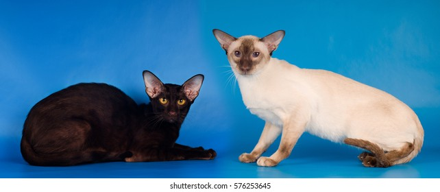 Two purebred cats siam and oriental breed studio shot sits on blue background and looking at camera