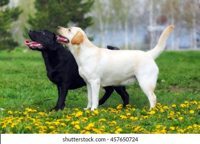 two purebred dogs Labrador Retriever standing in the show position in the summer on a glade with dandelions
