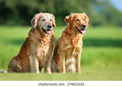 Two purebred Golden Retriever dogs outdoors on a sunny summer day.