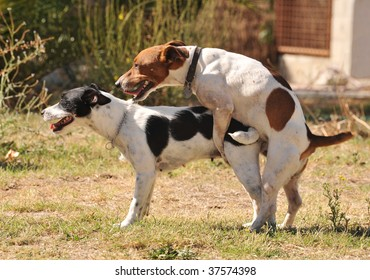 two purebred jack russel terrier making love in a garden