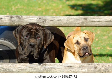 Two purebred South African Boerboel dogs with cute alert facial expression standing behind a fence on a farm and staring.