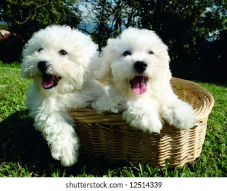 Two purebreed bichon frise puppies in a basket