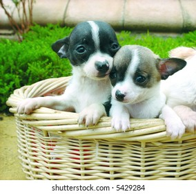 Two purebreed chihuahua puppies in a basket