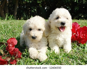 Two purebreed french poodle puppies