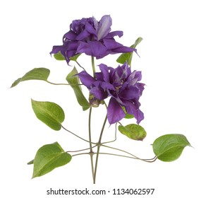 two purple clematis isolate on white
