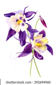 Two Purple Columbine Flowers.  Watercolor painting, hand painted, illustration style with white background of two purple columbine flowers.