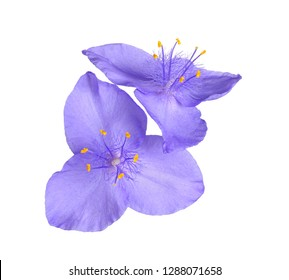 Two purple flowers of the North American native perennial plant spiderwort (probably a hybrid involving Tradescantia virginiana and T. ohiensis) isolated against a white background