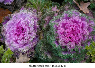 Two purple kale cabbage with curly leaves in a flower bed of a city park. Bright decorative natural organic decoration of urban space. Fresh healthy vegetables.