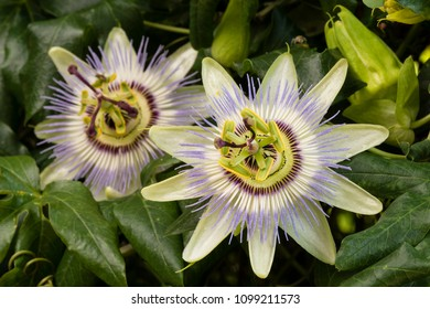 Two Purple passion flower in full bloom, Passiflora.
