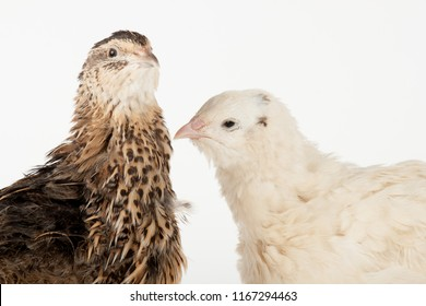 Two quail of Estonian and Texan breed, portrait