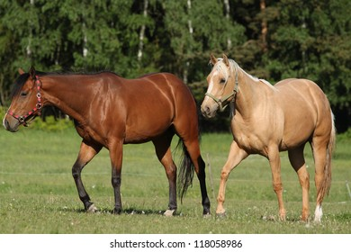 Two quatrer horse mare on the pasture
