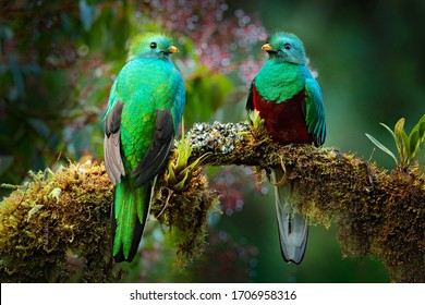 Two Quetzals, Pharomachrus mocinno, from  nature Costa Rica with green forest. Magnificent sacred mistic green and red bird. Resplendent Quetzal in jungle habitat. Widlife scene from Costa Rica.