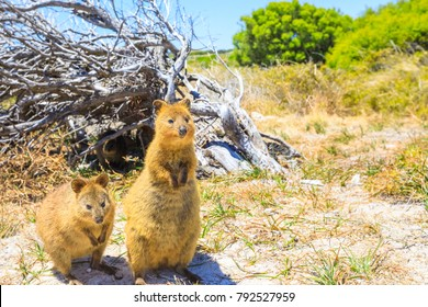 Two Quokka outdoors in Rottnest Island, summer season, Western Australia. Quokka is considered the happiest animal in the world thanks to expression of snout that always reminds a smile. Copy space.