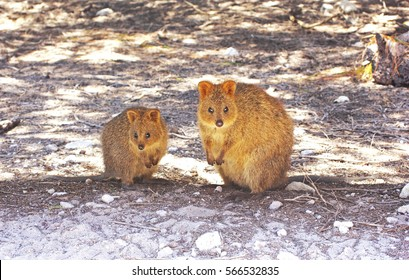 Two Quokkas (small Marsupial), a Mother and its Young, sitting in the Shade, Rottnest Island, Western Australia