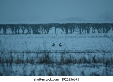 Two rabbits in a field in the snow appearing to have a conversation
