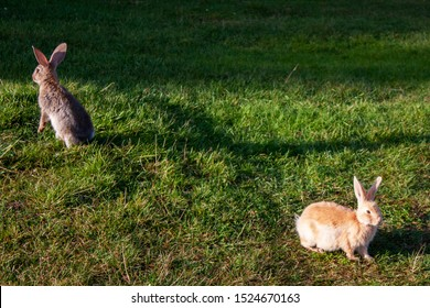 Two rabbits graze in the meadow. One rabbit is sitting in the green grass, and the other rabbit is standing on its hind legs. Two rabbits among the grass on a summer day.