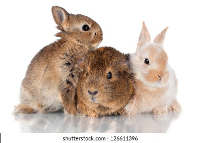 two rabbits and guinea pig