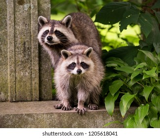 Two raccons beside a tombstone in a midtown Toronto cemetery in summer