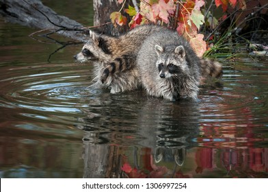Two Raccoons (Procyon lotor) Look Out Paws in Water Autumn - captive animals