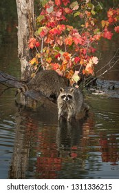 Two Raccoons (Procyon lotor) One Looking Out Autumn - captive animals