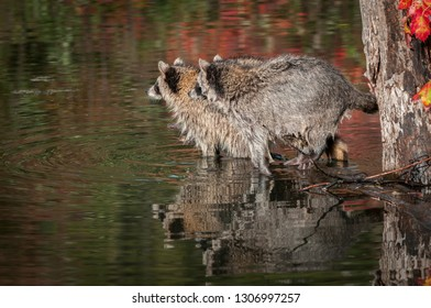 Two Raccoons (Procyon lotor) Side By Side Looking Left Reflected Autumn - captive animals