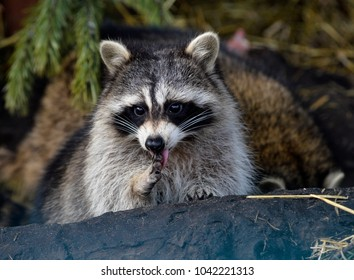 Two raccoons in Zoo