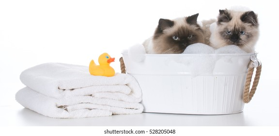 two ragdoll cats in a wash basin on white background