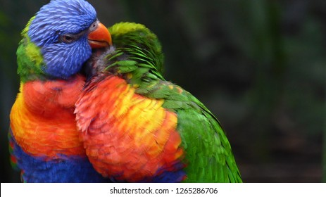 Two rainbow lori parrots in love carring about their feathers