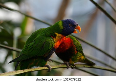 Two rainbow lorikeet birds are together on a branch