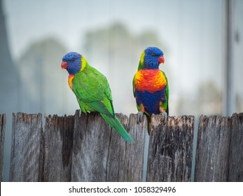 Two Rainbow lorikeet parrots perching on wooden garden fence of a residential house.
