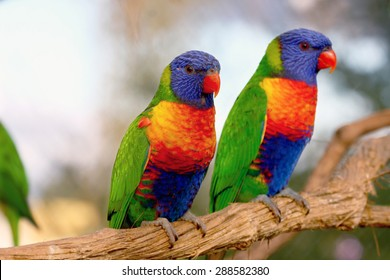 two Rainbow Lorikeet the preen each other