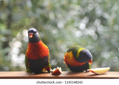 Two rainbow lorikeets are on a wooden railing, eating slices of apple. One is looking at the camera, the other at the apple. The background is a blur of green.