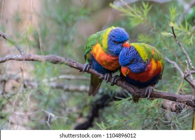 Two rainbow lorikeets in a tree grooming each other