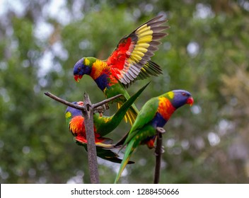 Two rainbow lorikeets with wings open while a third is sitting on a branch. One of the lorikeets is flying away while the other is landing.
