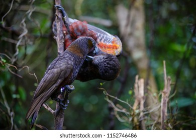 Two Rare New Zealand Kaka entwined in a lovers embrace