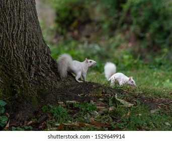 Two rare white eastern gray squirrels by a tree in a park in Olney, Illinois.