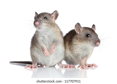 Two rats posing on a white background