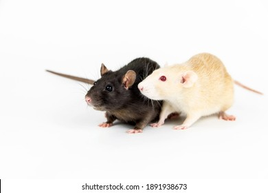 Two rats of white and dark color on a white background