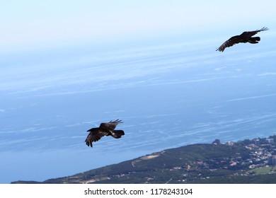 Two ravens in flight, black bird on blue sea bakground. Birds image.