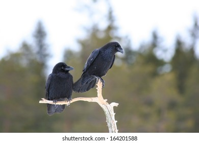 Two ravens on a branch in winter