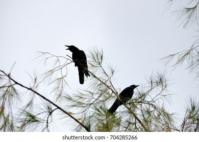 Two ravens sit on the top of pine tree, one raven shout out with white sky background at the park