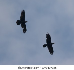 Two ravens(Corvus corax) in fly against blue sky, Podlasie Region, Poland, Europe