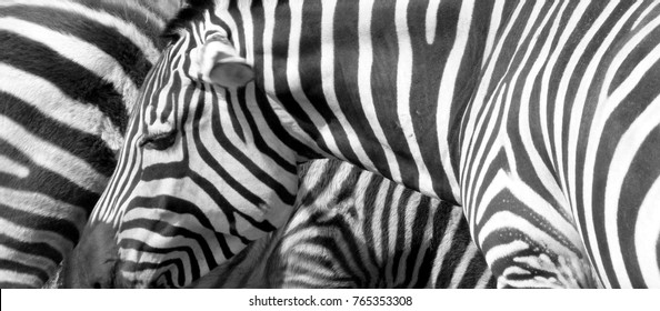 Two real zebras in Victor Vasarely's style