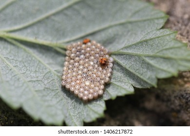 Two recently emerged shield bug nymphs surrounded by unhached eggs. These nymphs were found on the underside of a black berry leaf and may infact go on to feed of the plant and become a pest.