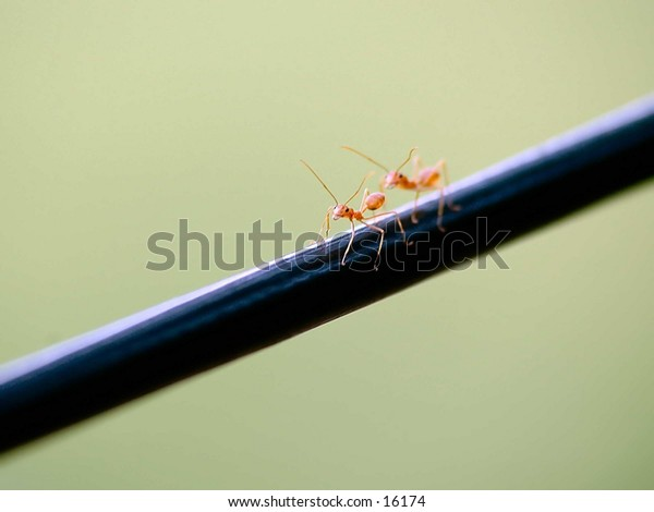 Two red ants smile for the camera close-up