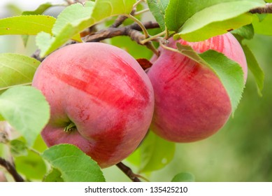 Two red apples on a branch ready to be harvested, autumn outdoors