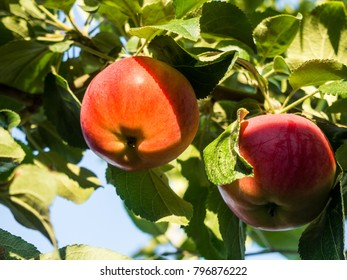 two red apples on branch in garden